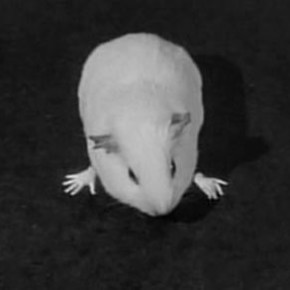 Guinea pig teleportation terror